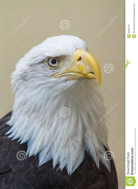 Detail of bald eagles head stock image
